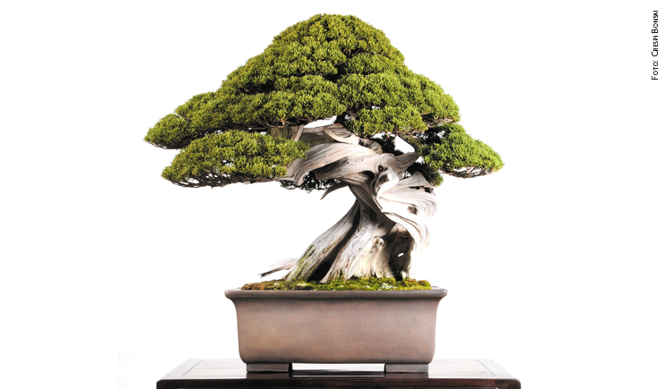 bonsai Ginepro foto CRESPI BONSAI