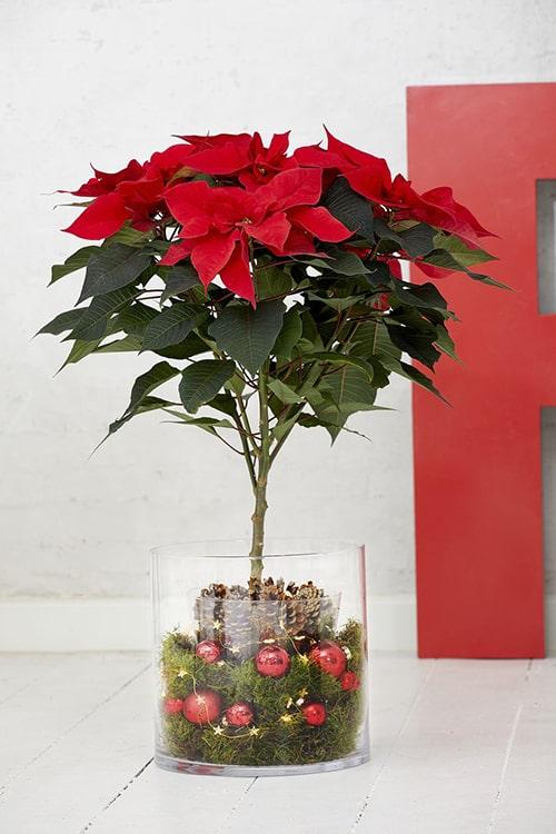 Foto Stella Di Natale.Decorazioni Un Idea Per Ogni Stella Di Natale Ilfloricultore