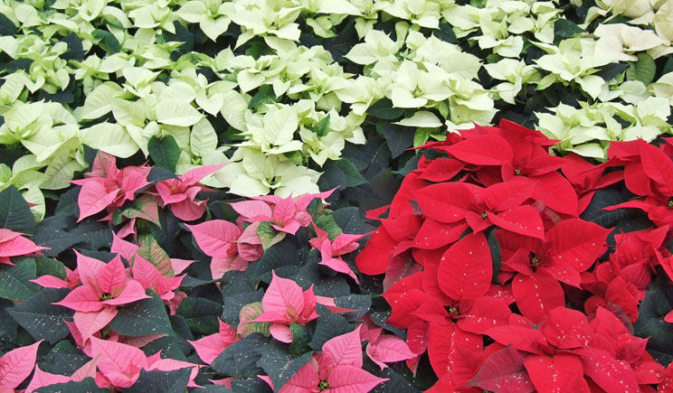 poinsettia poinsettie stella stelle natale pack trials confronto varietale