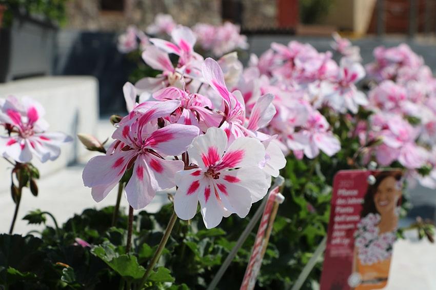 pianta-anno-2021-floricoltori-altoatesini-geranio-Amazonia_White_with_Eye-lazzeri-min.jpg