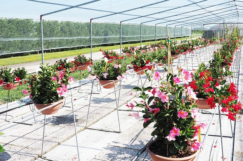 Dipladenia, visitabili i test estivi in fioriera del Centro Po di Tramontana