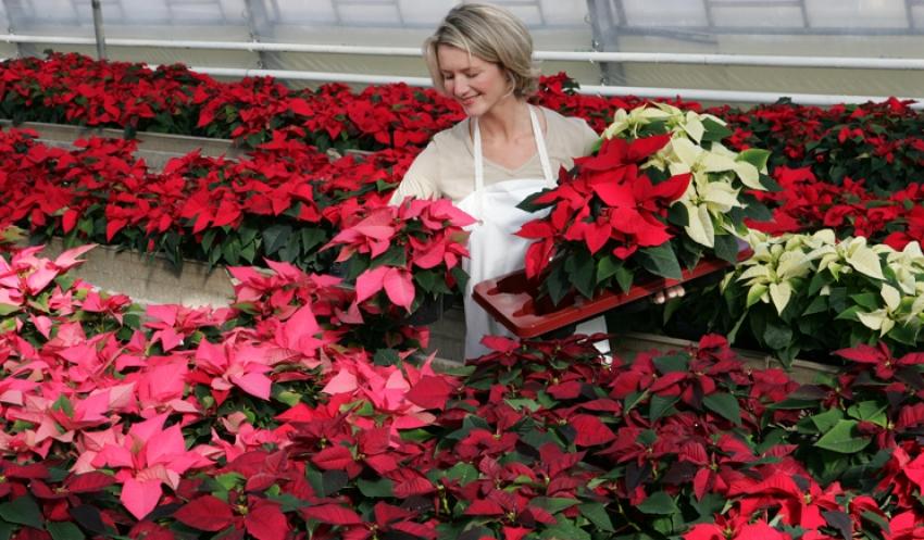 Appelli di Asproflor e Assofloro: scegliete le Stelle di Natale per aiutare i floricoltori italiani
