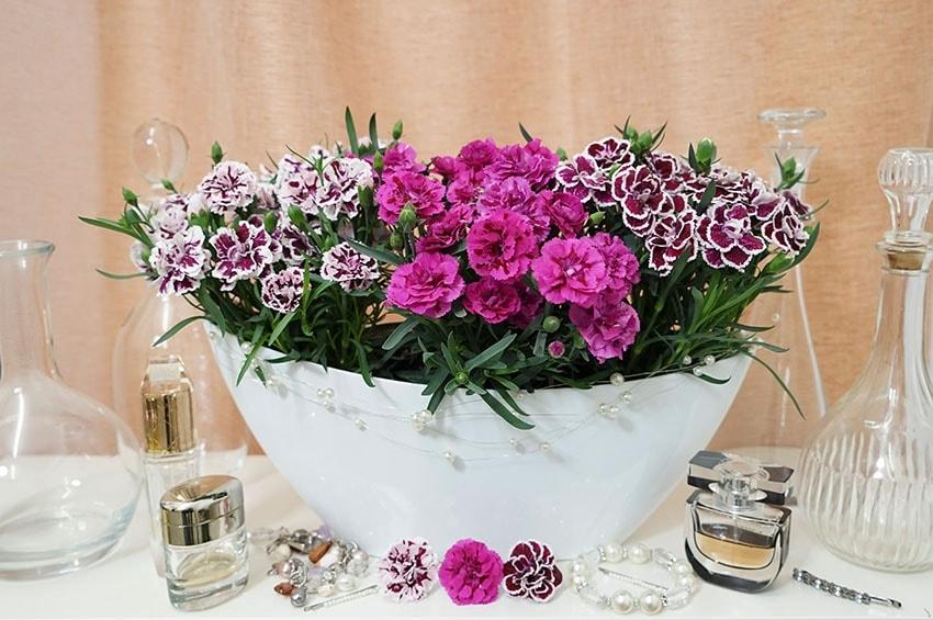 """Dianthus profumati """"DiaDeur"""" di Selecta one"""