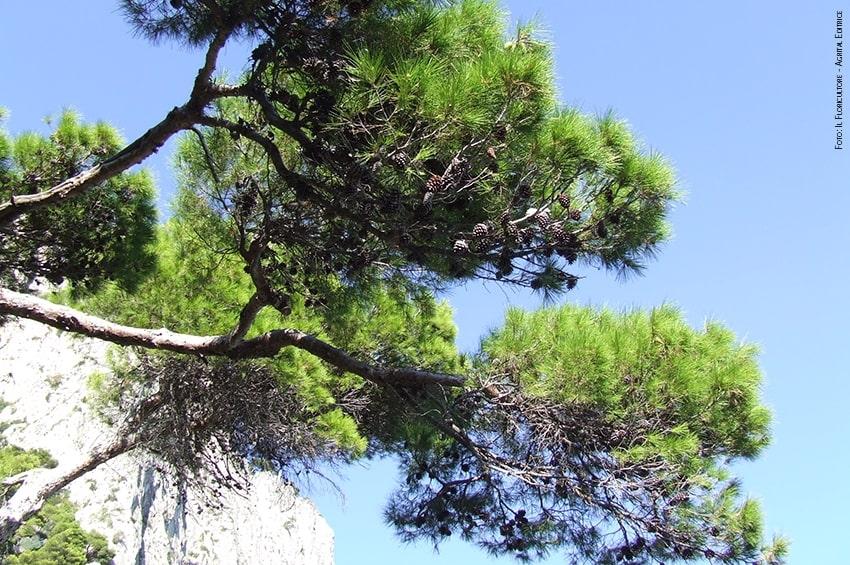 Pini di Roma, pini d'Italia: trasmesso schema di decreto per la lotta alla cocciniglia tartaruga