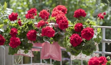 Geranio, un fiore tanti stili - IlFloricultore