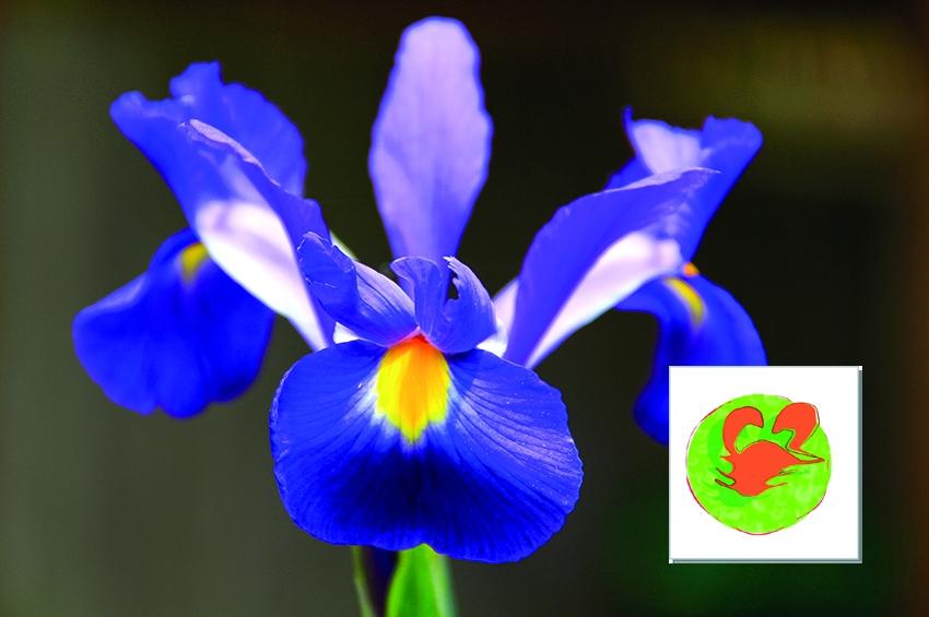 CANCRO (22 Giugno - 22 Luglio) - Lo zodiaco dei fiori da bulbo
