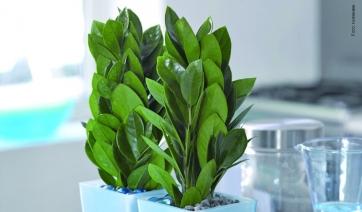 Taccuino botanico ilfloricultore for Zamioculcas cura
