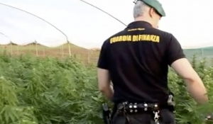 Lamezia Terme: tremila piante illegali di Cannabis coltivate in serra
